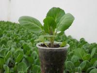 Рассада капусты — секреты выращивания и лучшая организация грядки (53 фото-идеи)