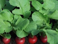 Редиска в теплице (88 фото): описание растения, посадка, особенности выращивания и подготовка грунта