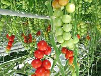 Томаты в теплице — 61 фото разных методик выращивания томатов в закрытых помещениях