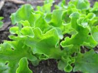 Выращивание салата: лучшие советы для городских садоводов. 105 фото и рекомендаций