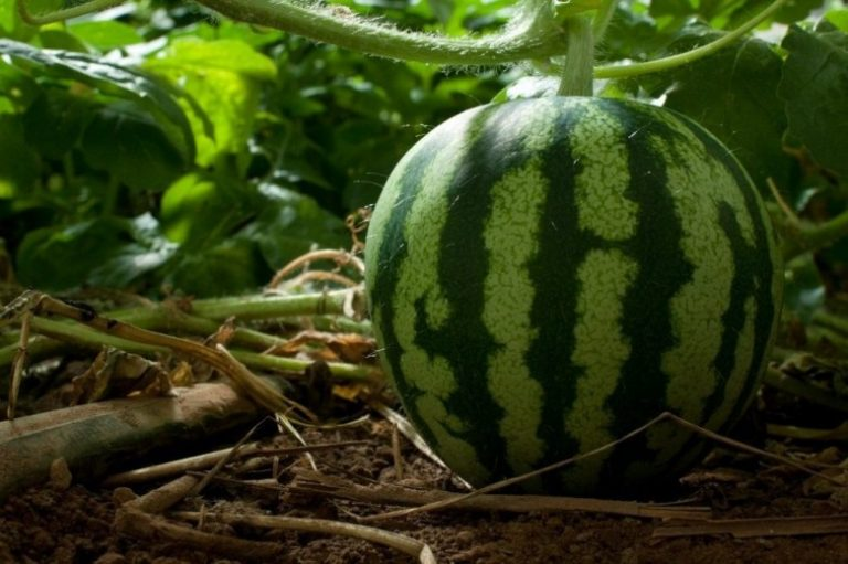 Выращивание арбузов в башкирии 51