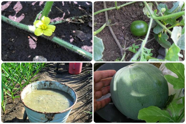 Технология выращивания арбуза в открытом грунте 33