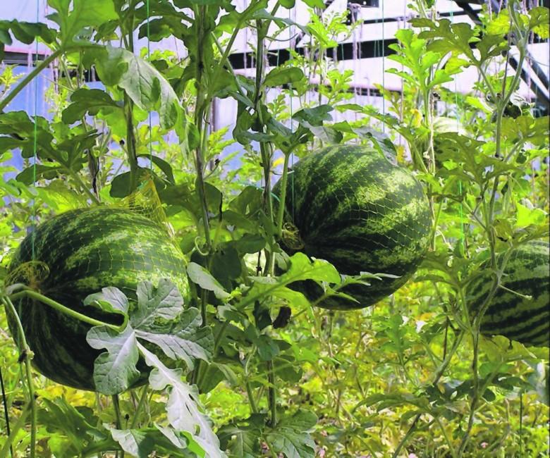 Выращивание арбузов в центральной россии 84