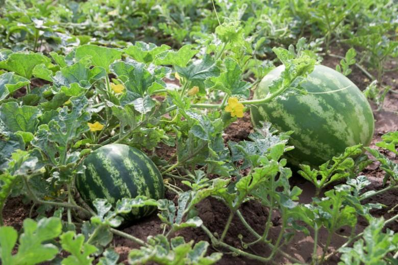 Выращивание арбузов в башкирии 97