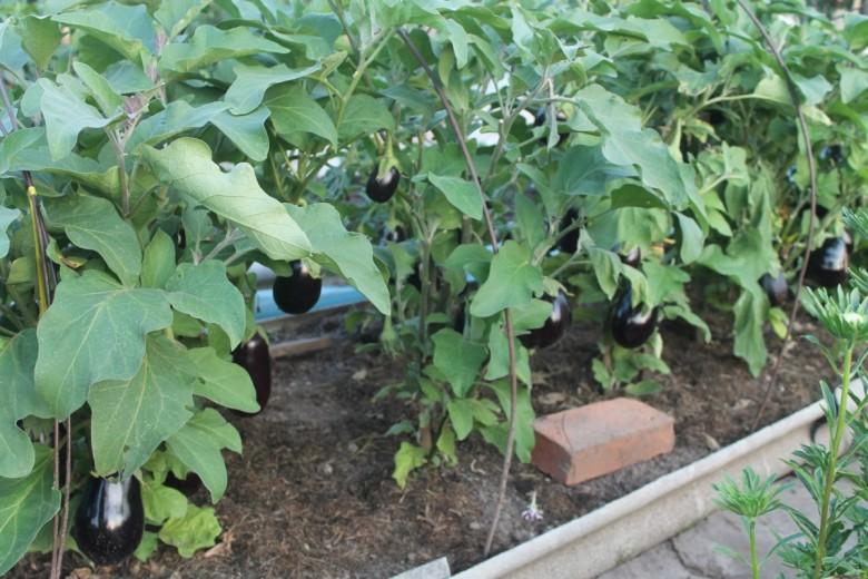 Как правильно выращивать баклажаны 93