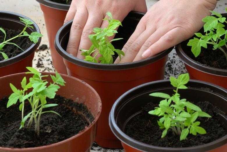 Чем подкармливать рассаду томатов 520