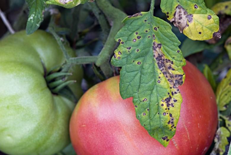 Чем брызгать рассаду помидор от болезней 2