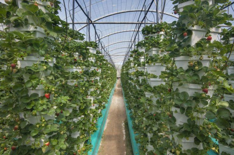 Выращивание клубники в фермерских 477