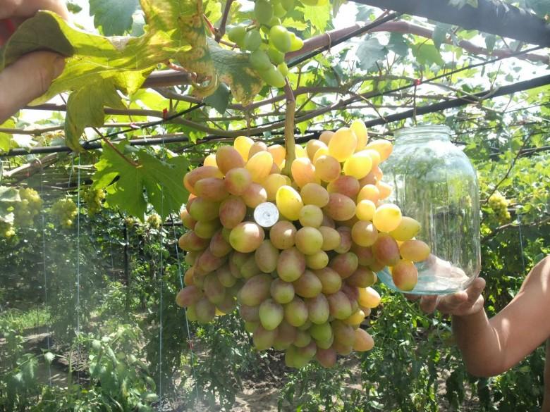 Технология выращивания лимонов в теплице 86
