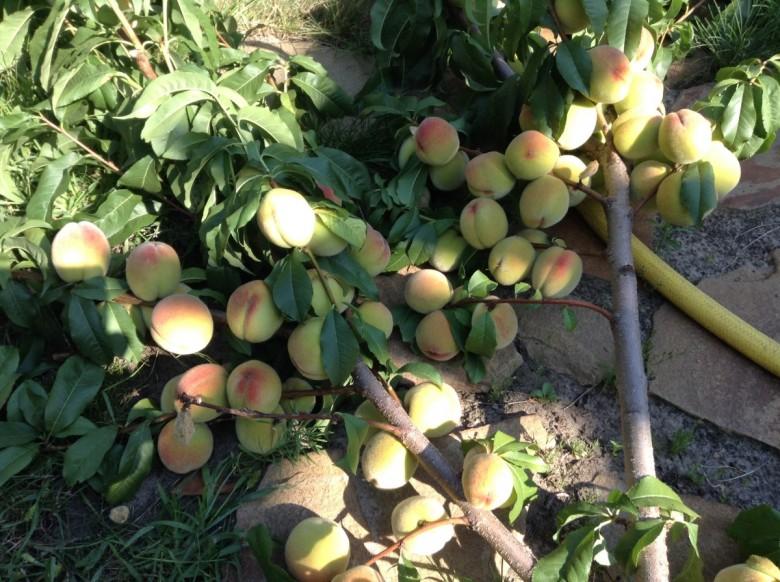 Технология выращивания лимонов в теплице 18