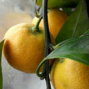 Технология выращивания лимонов в теплице 78