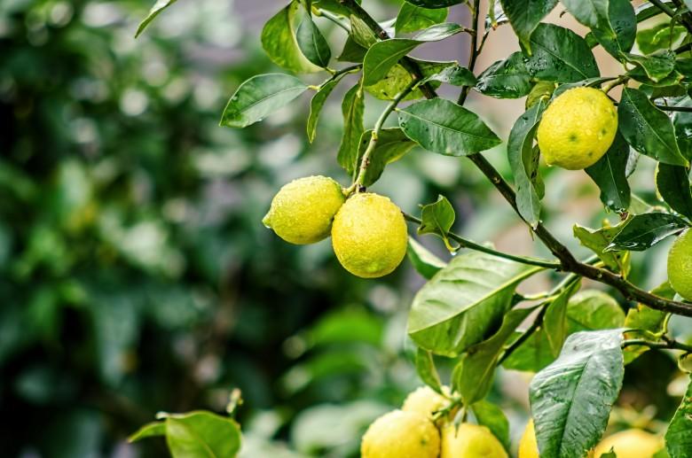 Технология выращивания лимонов в теплице 69
