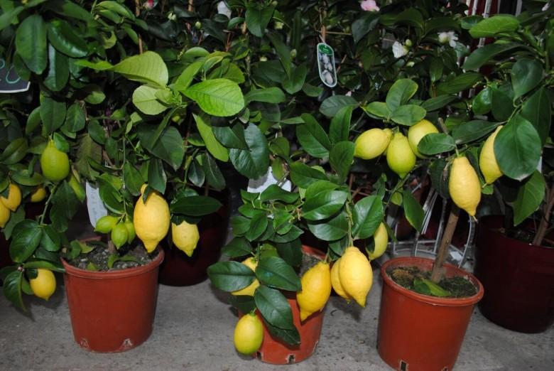Технология выращивания лимонов в теплице 7