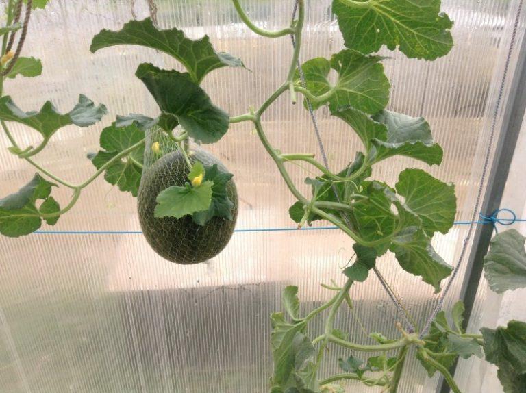 Технология выращивания лимонов в теплице 52
