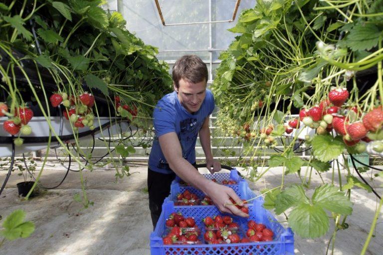 Выращивание клубники в теплице в крыму