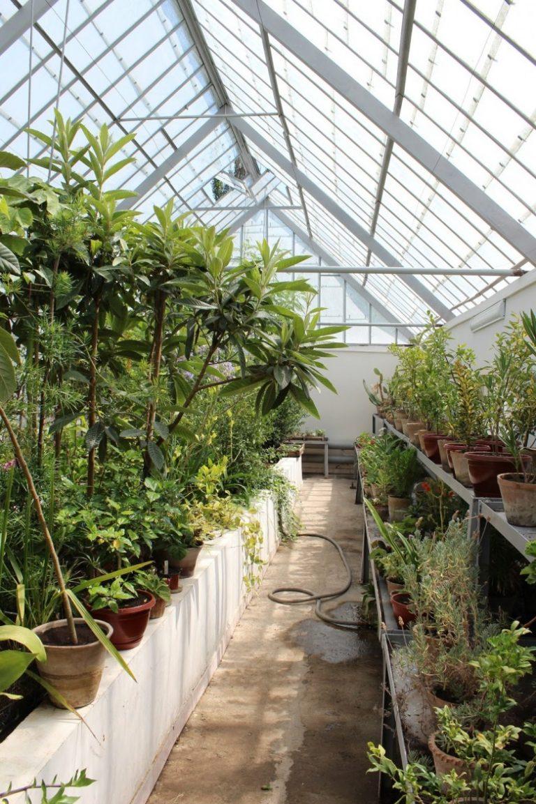 Выращивание киви в теплице круглый год 46