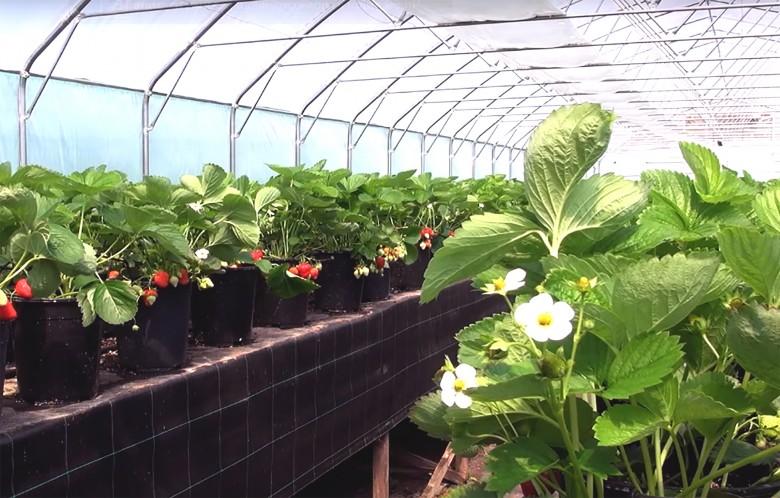 Выращивание черники в теплице круглый год 23
