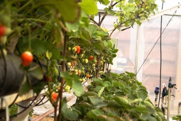 Выращивание киви в теплице круглый год 50
