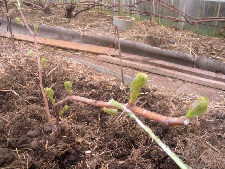 Технология выращивания лимонов в теплице 23