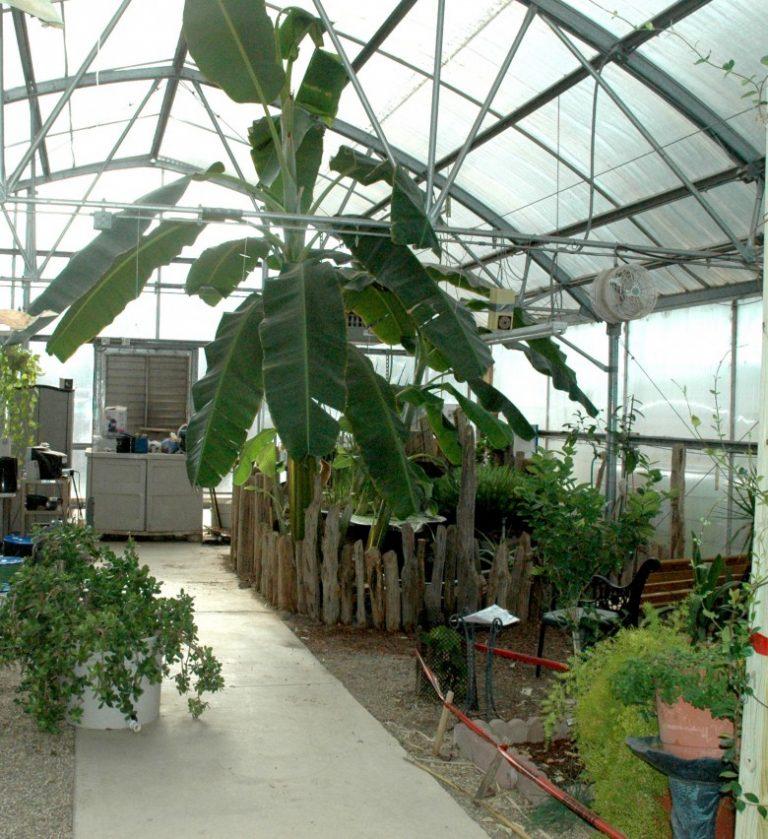 Выращивание киви в теплице круглый год 24