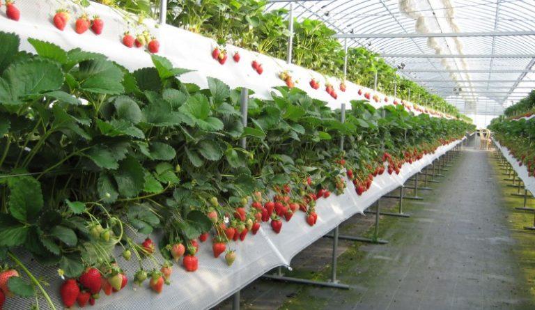 Выращивание черники в теплице круглый год 13