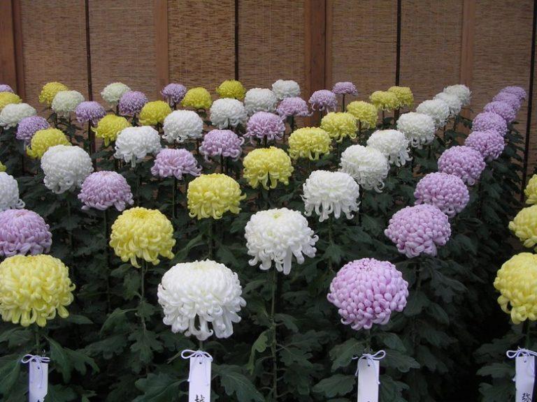 Выращивание хризантем в те 164