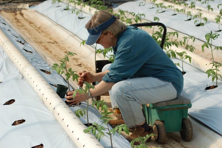 Выращивание помидоров под пленкой 30