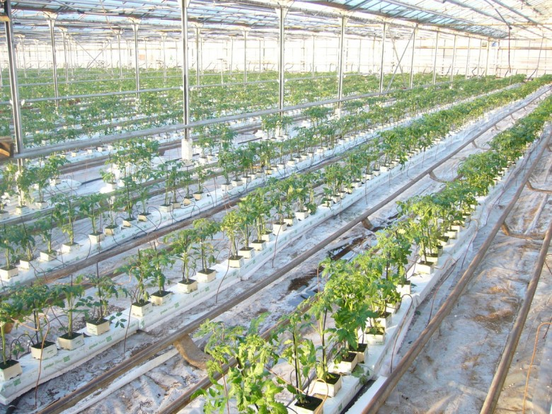 Выращивание огурцов в теплице по голландской технологии 69