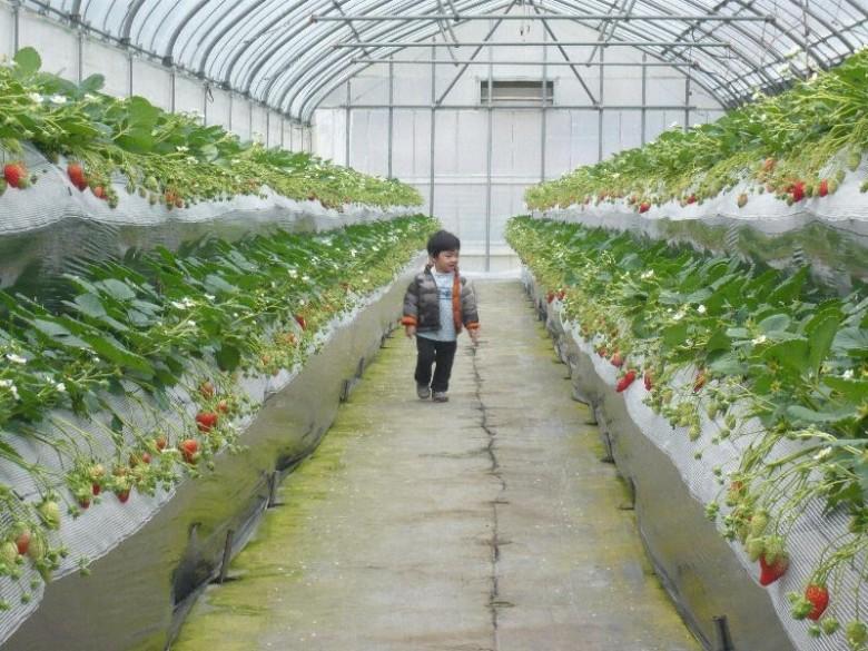 Выращиванье клубники в теплице 368