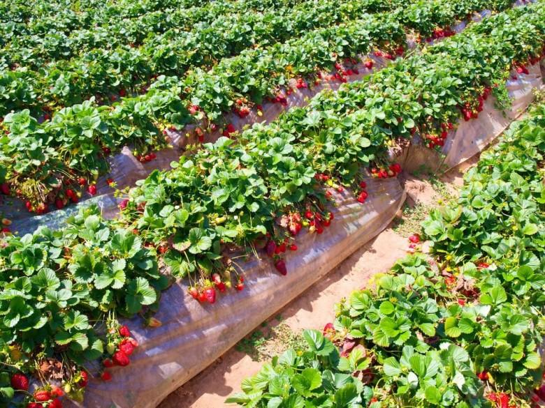 Выращиванье клубники в теплице 411