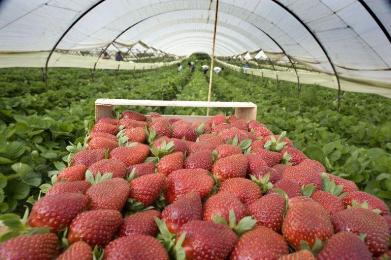 Израильские технологии выращивания клубники 27