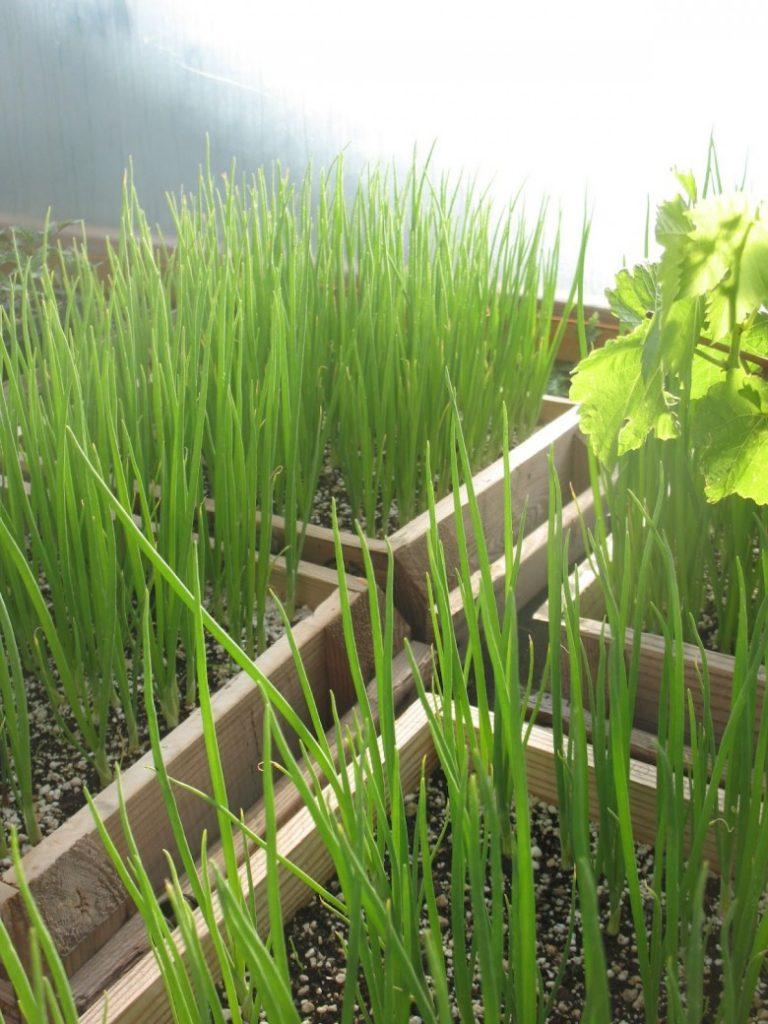 Выращивание зелени лука 24