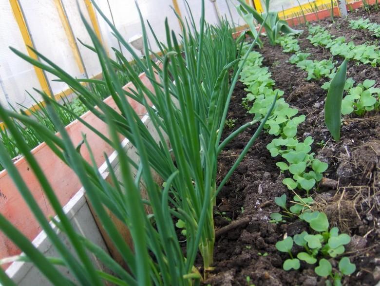 Выращивание зелени лука 5
