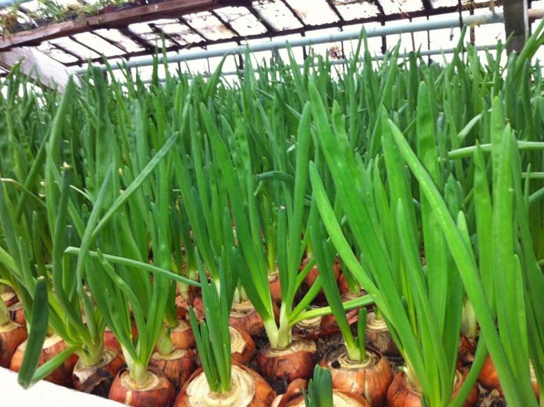Зеленый лук выращивание на гидропонике 544