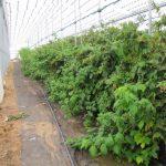 Промышленное выращивание малины в россии 75