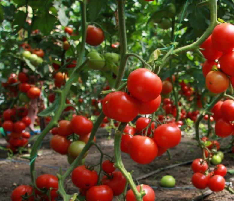 Как когда посадить семена пеларгония
