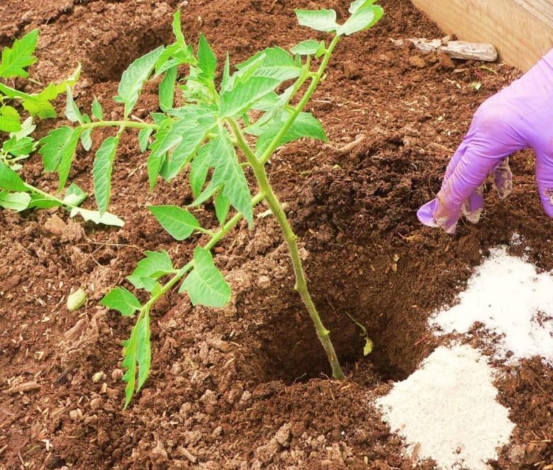 Чем подкармливать рассаду томатов 950