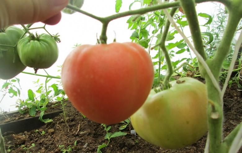 Выращиваем помидоры вкусные, сахарные, сладкие