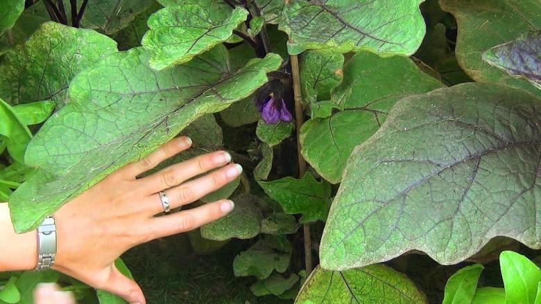 Желтеют нижние листья у рассады баклажан 82