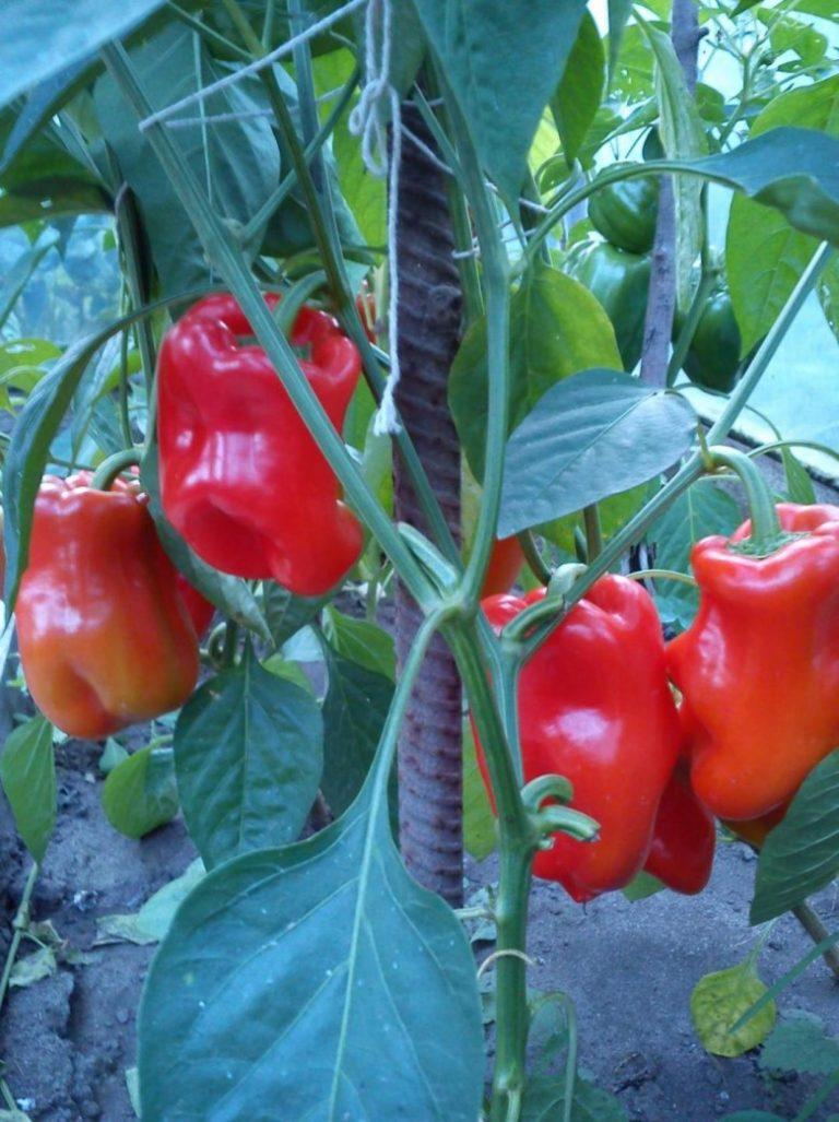 Когда сажать болгарские перцы