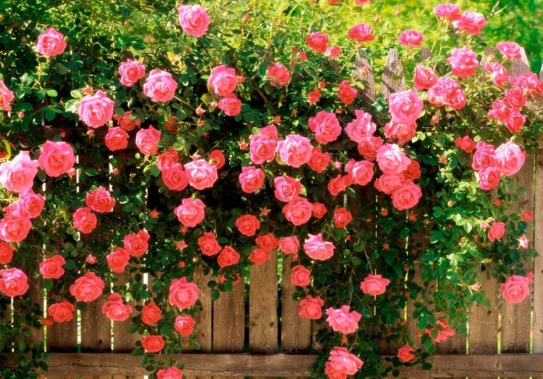 Когда и как подкармливать розы