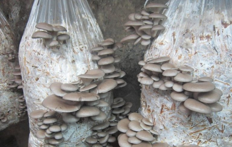 Вырастить грибы вешенки в домашних условиях