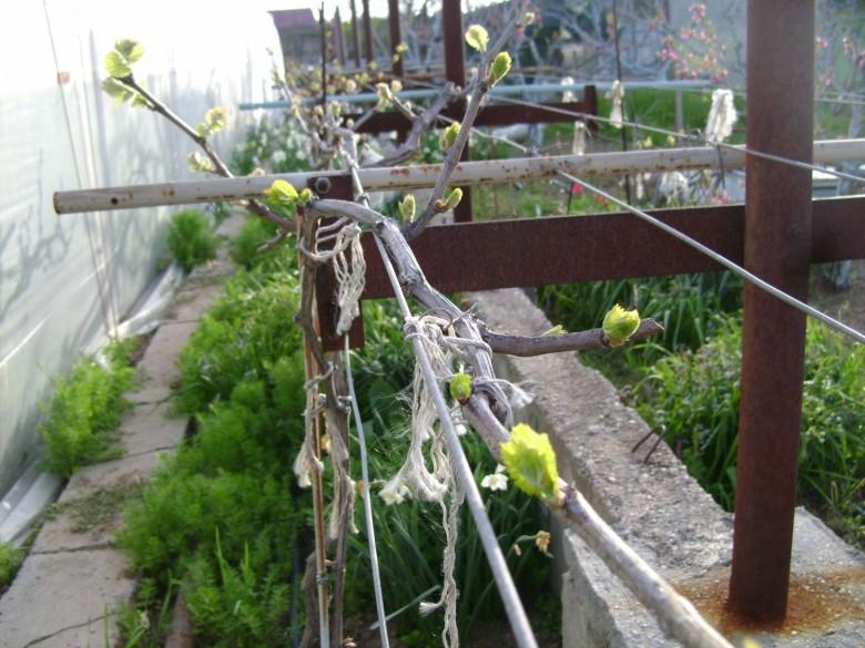 Виноград технология выращивания 56