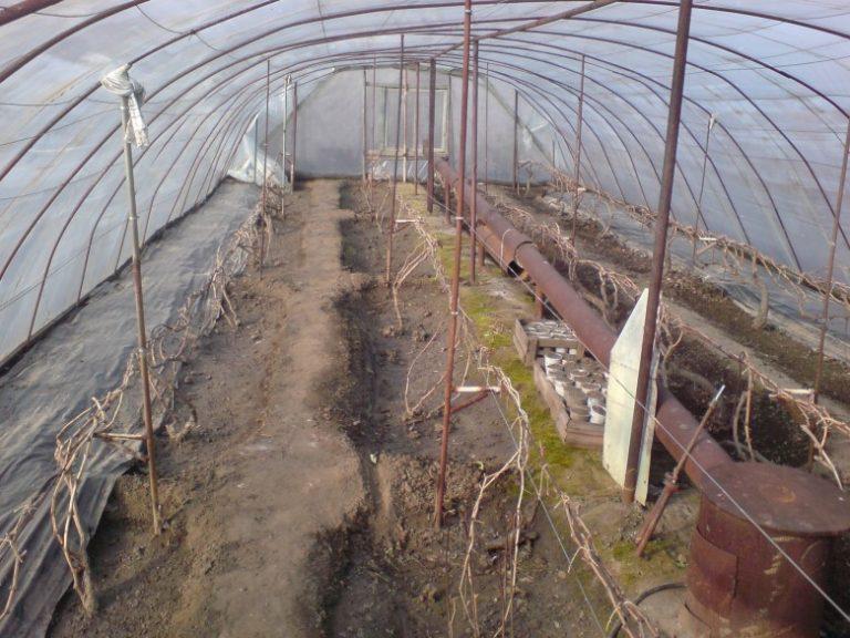 Выращивание киви в теплице круглый год 19
