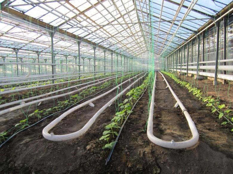Виноград в теплице технология выращивания 494