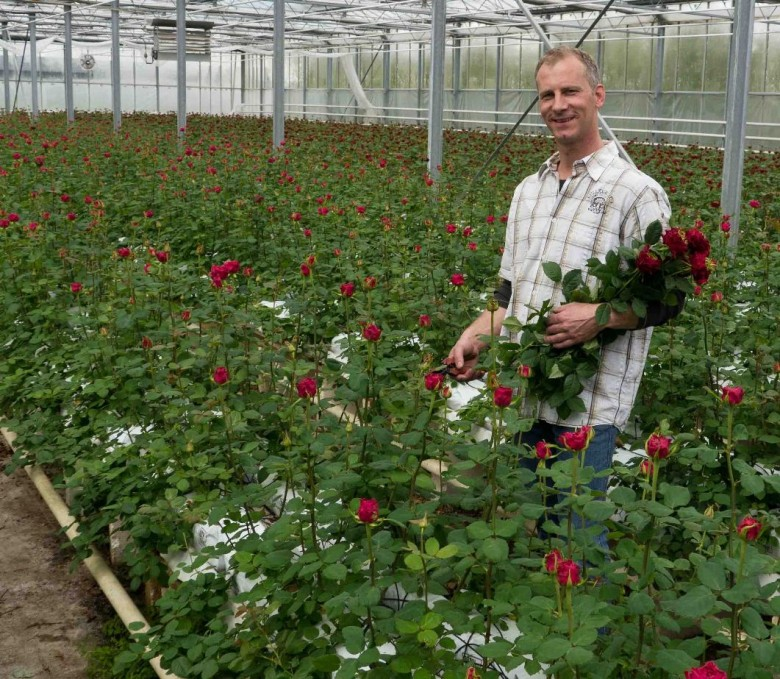 Выращивание розы на срезку в теплице 78