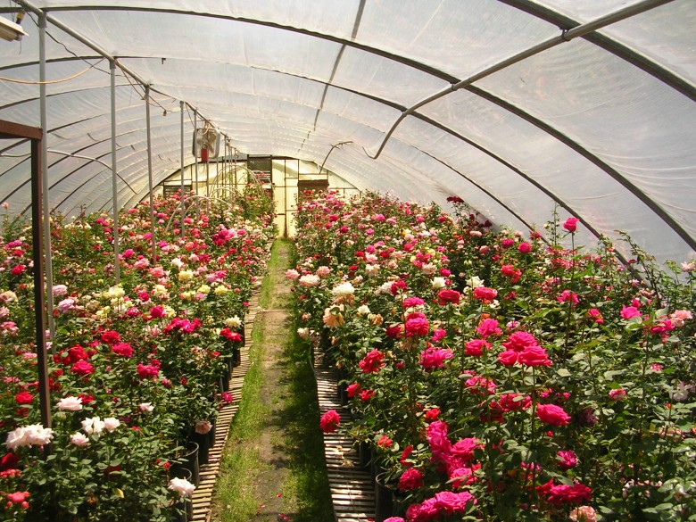 Выращивание розы на срезку в теплице