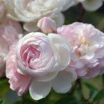 Роза сорта аве мария фото