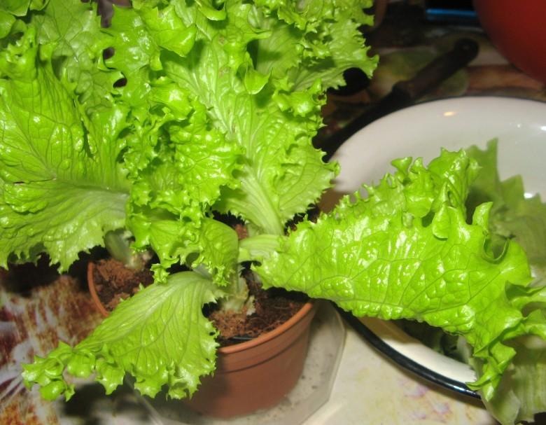 Айсберг салат выращивание дома 60