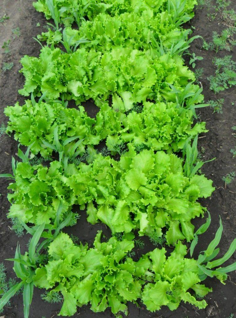 Выращивание салата в сентябре 38
